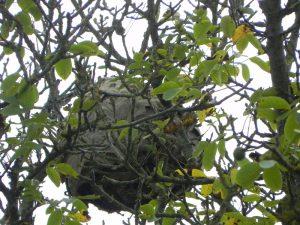 nid-frelon-europeen