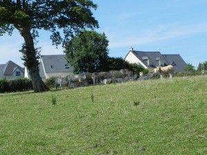 Vache dans leur champs